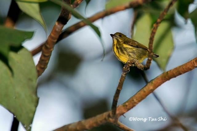 image 1384 of Yellow-breasted Flowerpecker