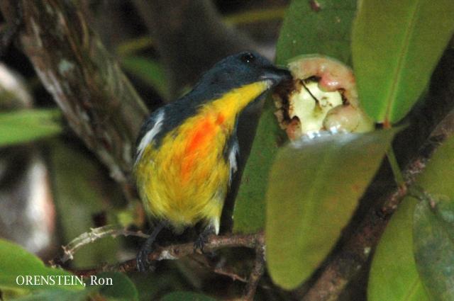 image 4979 of Yellow-rumped Flowerpecker