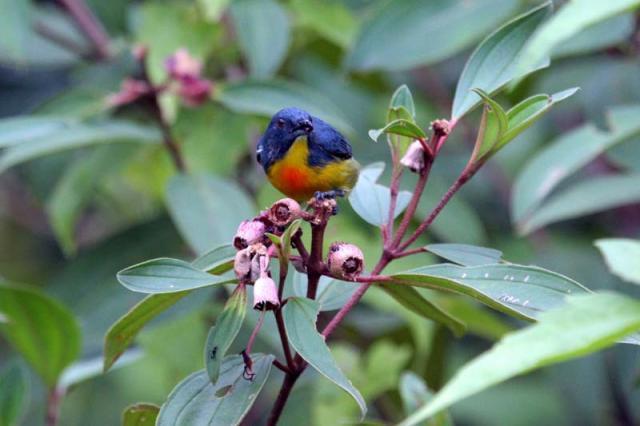 image 5721 of Yellow-rumped Flowerpecker