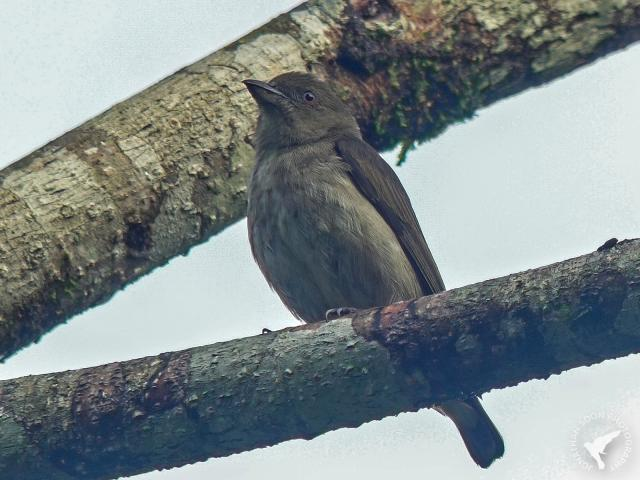 image 8319 of Thick-billed Flowerpecker