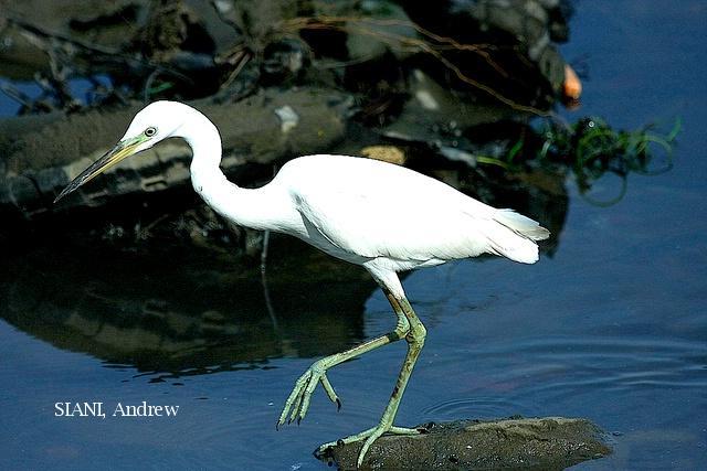 image 2948 of Chinese Egret