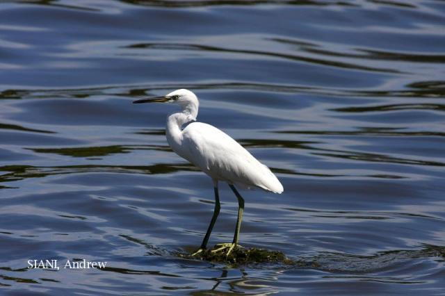 image 5043 of Chinese Egret