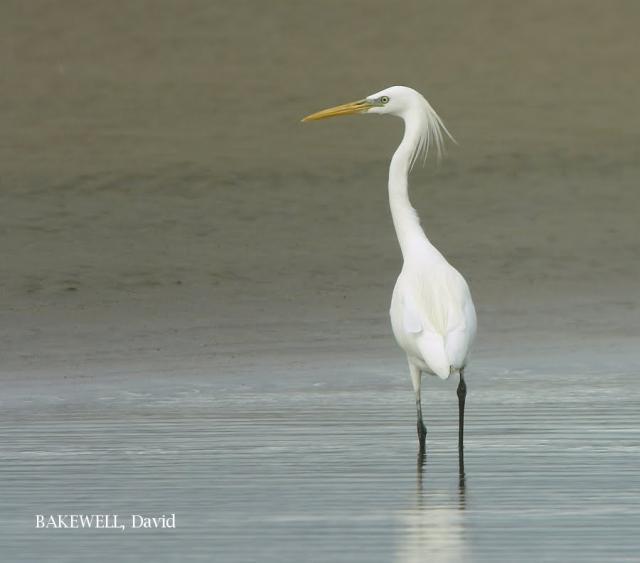 image 4022 of Chinese Egret
