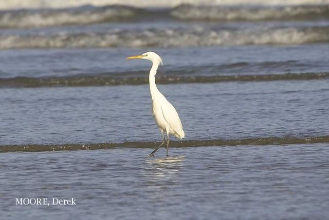 image 3703 of Chinese Egret