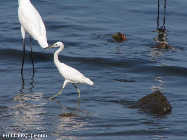 image 1455 of Chinese Egret