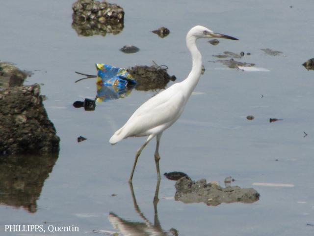 image 1458 of Chinese Egret