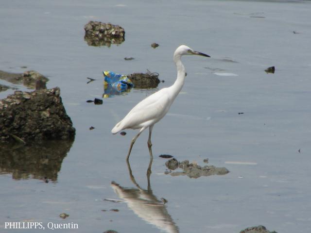 image 1459 of Chinese Egret