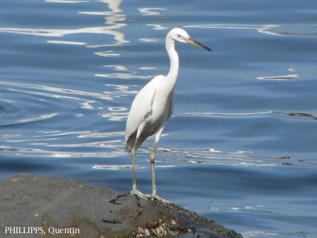 image 1454 of Chinese Egret
