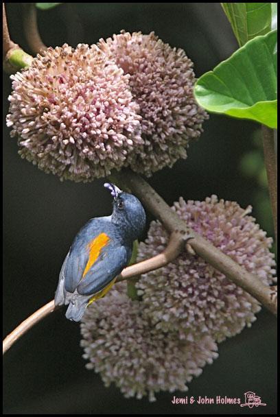 image 2511 of Orange-bellied Flowerpecker