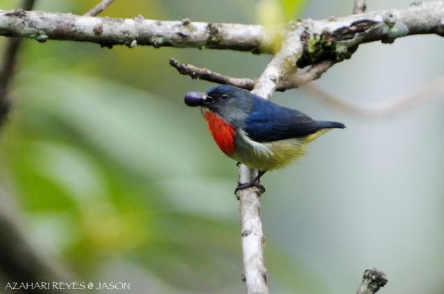 image 5217 of Bornean Flowerpecker