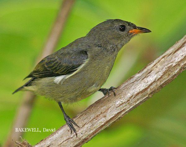 image 4002 of Bornean Flowerpecker