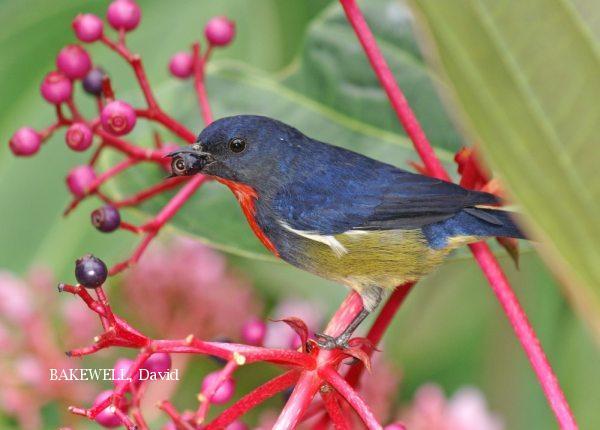 image 4004 of Bornean Flowerpecker