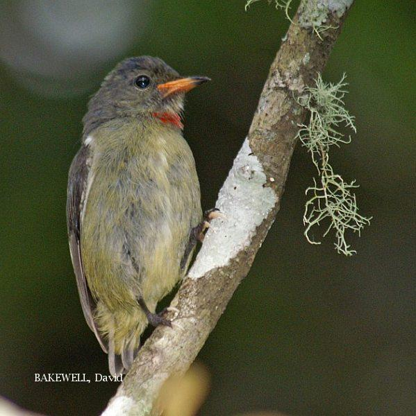 image 4005 of Bornean Flowerpecker