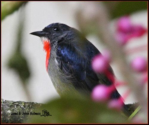 image 2512 of Bornean Flowerpecker