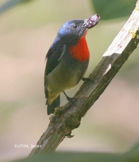 image 2306 of Bornean Flowerpecker