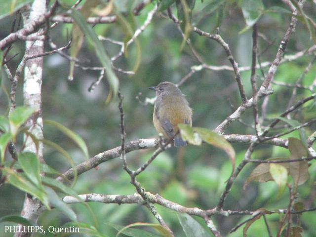 image 1736 of Bornean Flowerpecker