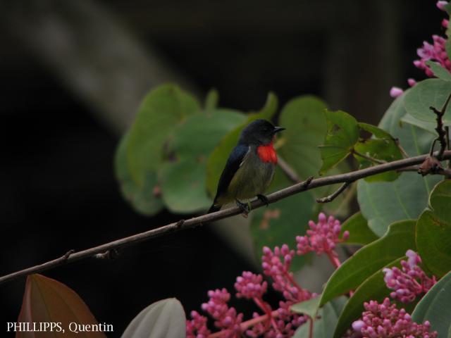 image 1735 of Bornean Flowerpecker