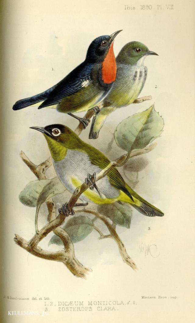 image 3685 of Bornean Flowerpecker