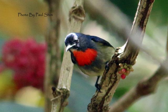 image 7540 of Bornean Flowerpecker