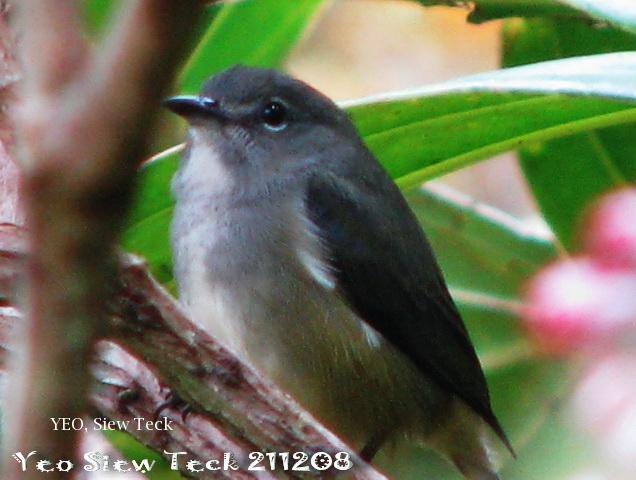 image 7855 of Bornean Flowerpecker