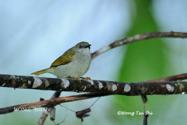 image 6176 of Plain Sunbird