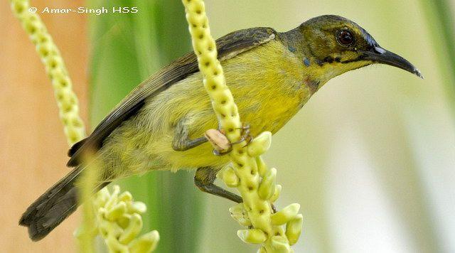 image 4431 of Brown-throated Sunbird