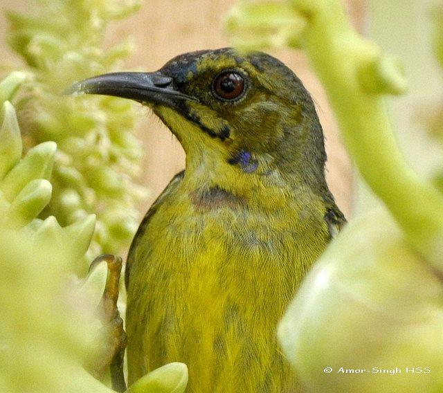 image 4432 of Brown-throated Sunbird