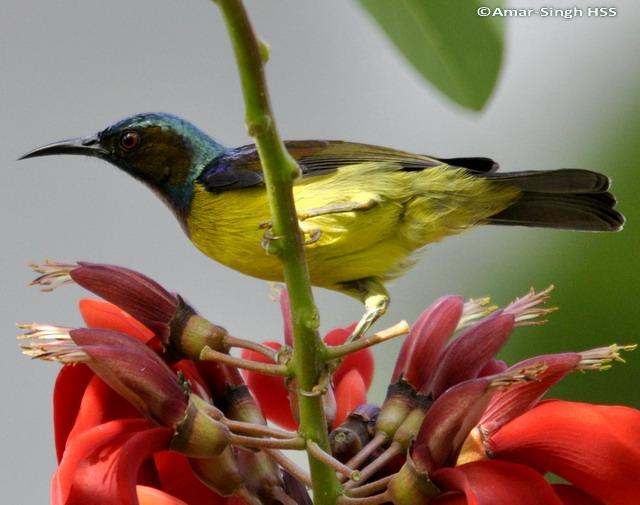 image 6234 of Brown-throated Sunbird