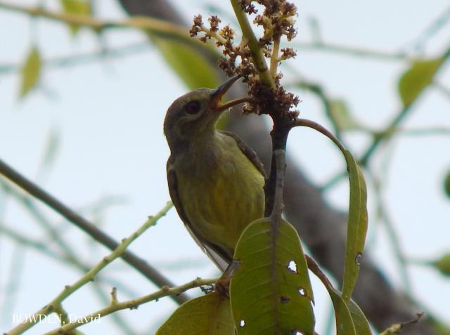 image 7045 of Brown-throated Sunbird