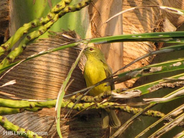 image 1750 of Brown-throated Sunbird