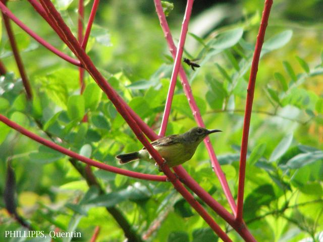 image 1751 of Brown-throated Sunbird
