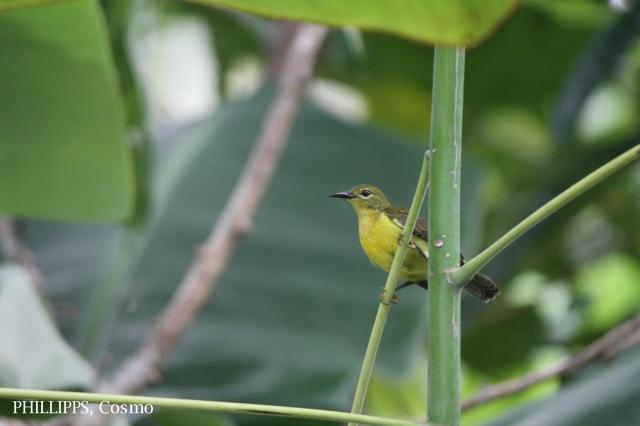 image 5403 of Brown-throated Sunbird