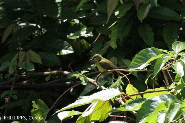 image 5408 of Brown-throated Sunbird
