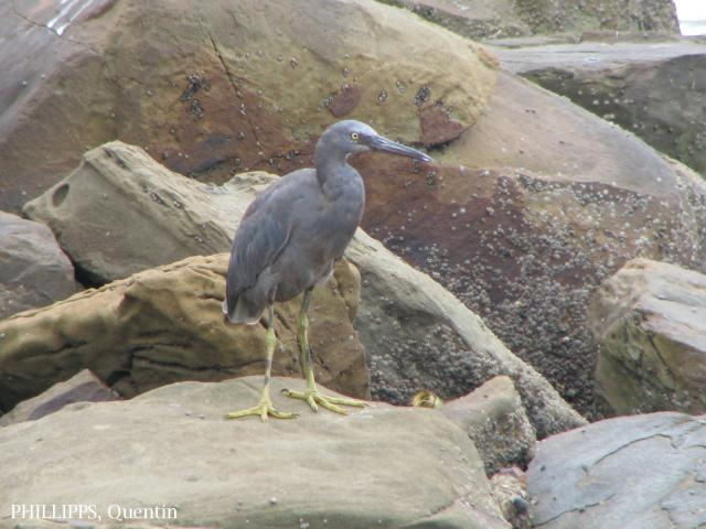 image 1466 of Pacific Reef Egret