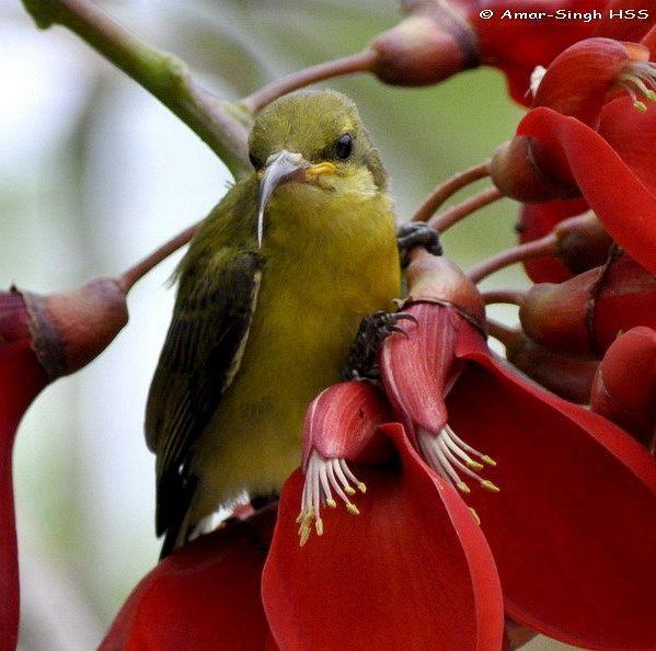 image 4433 of Olive-backed Sunbird