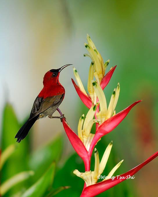 image 403 of Eastern Crimson Sunbird