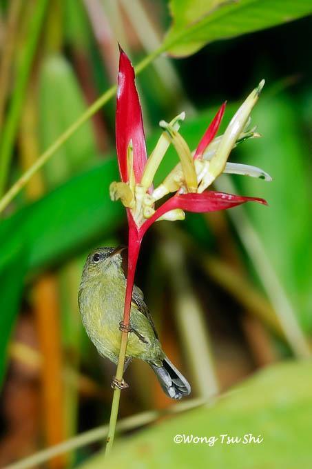 image 424 of Eastern Crimson Sunbird