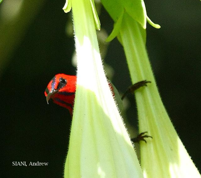 image 3246 of Temminck's Sunbird