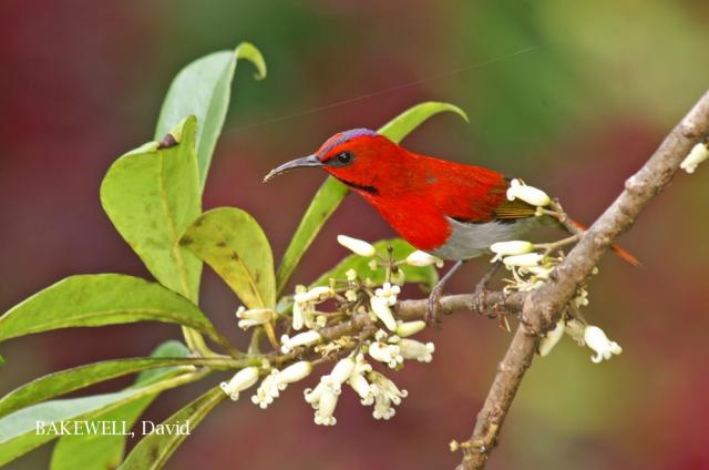 image 4314 of Temminck's Sunbird
