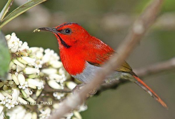 image 4012 of Temminck's Sunbird