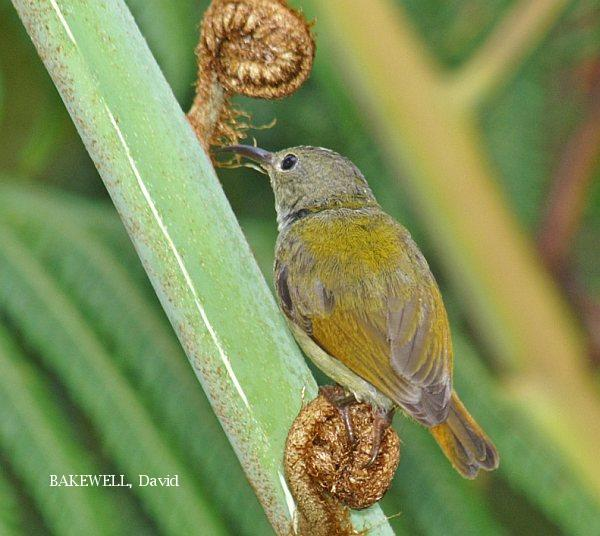 image 4011 of Temminck's Sunbird