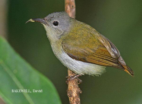 image 4008 of Temminck's Sunbird