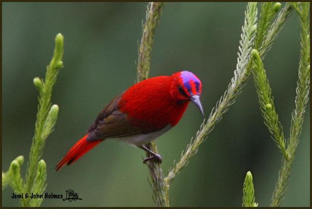 image 2515 of Temminck's Sunbird