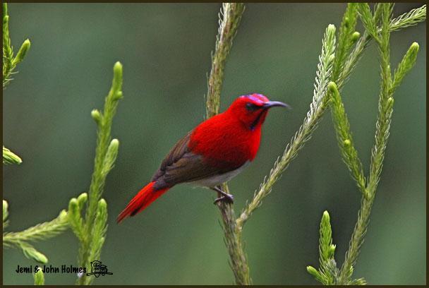 image 2516 of Temminck's Sunbird