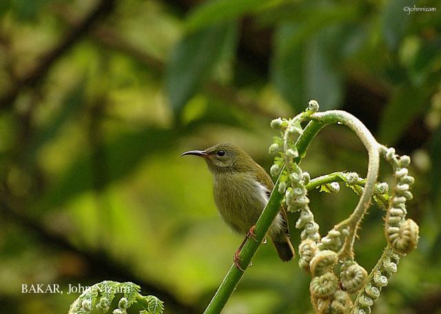 image 5950 of Temminck's Sunbird