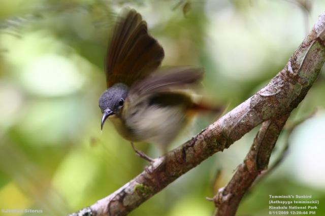 image 3445 of Temminck's Sunbird