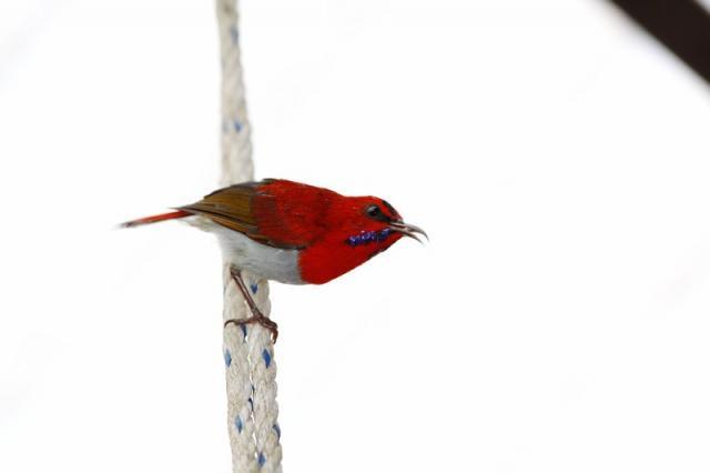 image 3308 of Temminck's Sunbird
