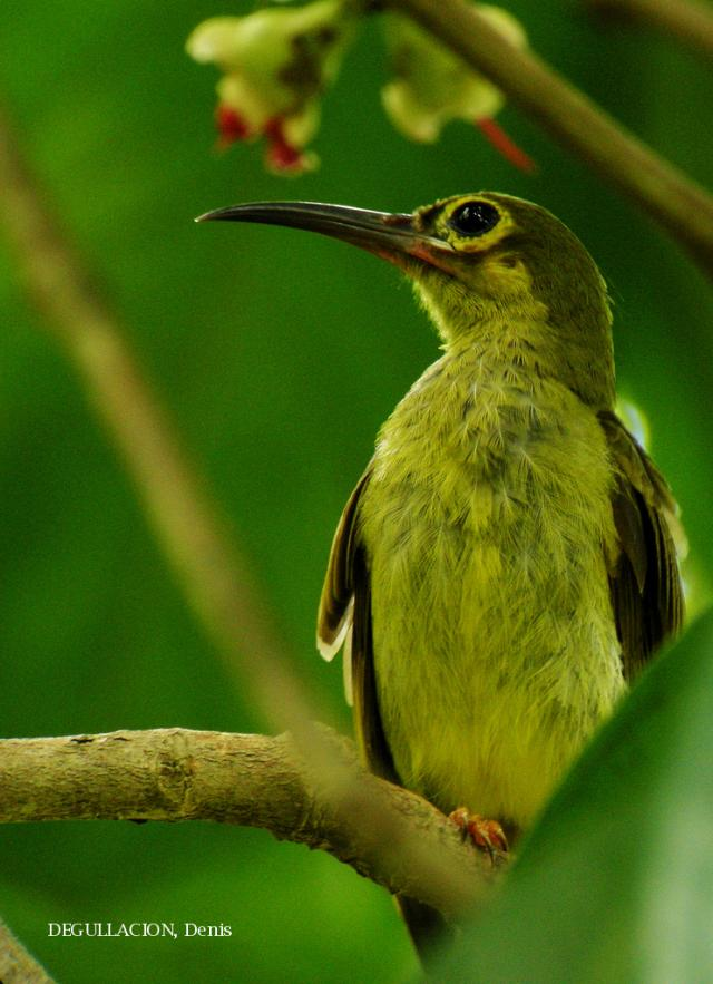 image 5839 of Spectacled Spiderhunter