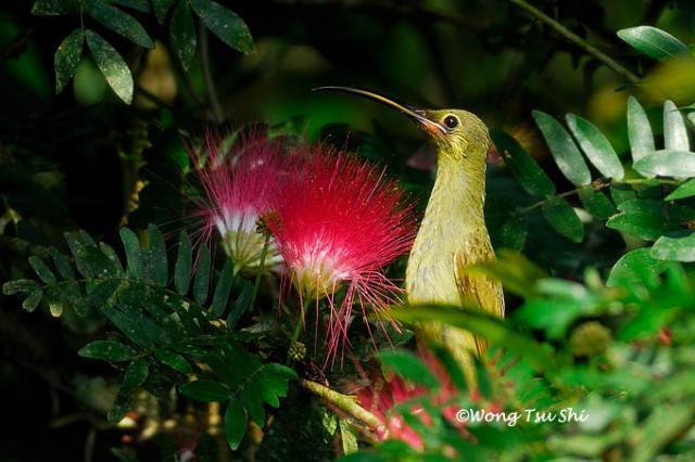 image 405 of Yellow-eared Spiderhunter