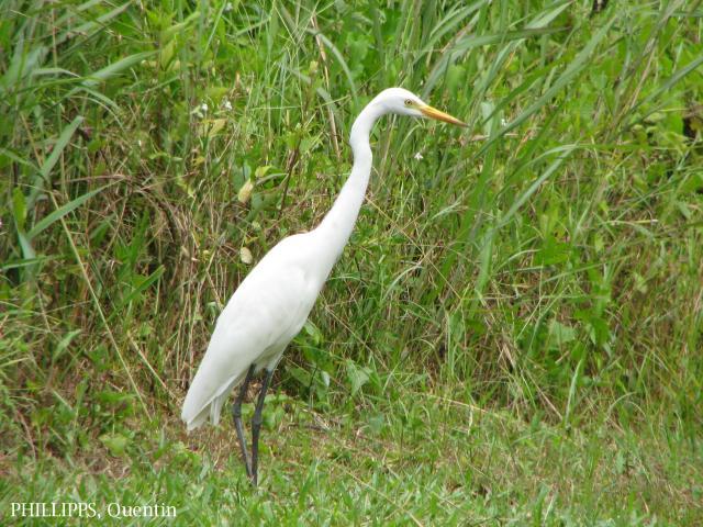 image 1489 of Intermediate Egret